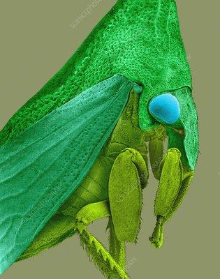 Horned treehopper, SEM
