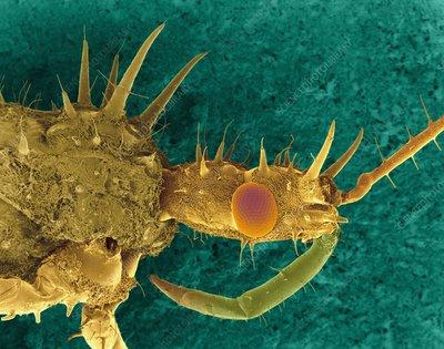 Leafhopper assassin bug, SEM