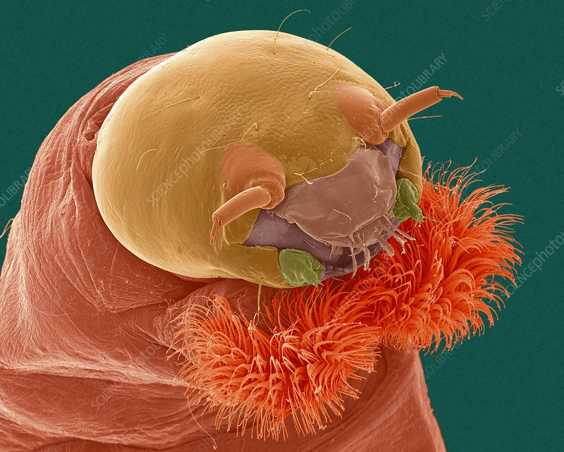 Bloodworm head, SEM