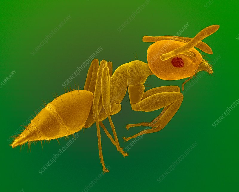 Big-headed ant worker, SEM