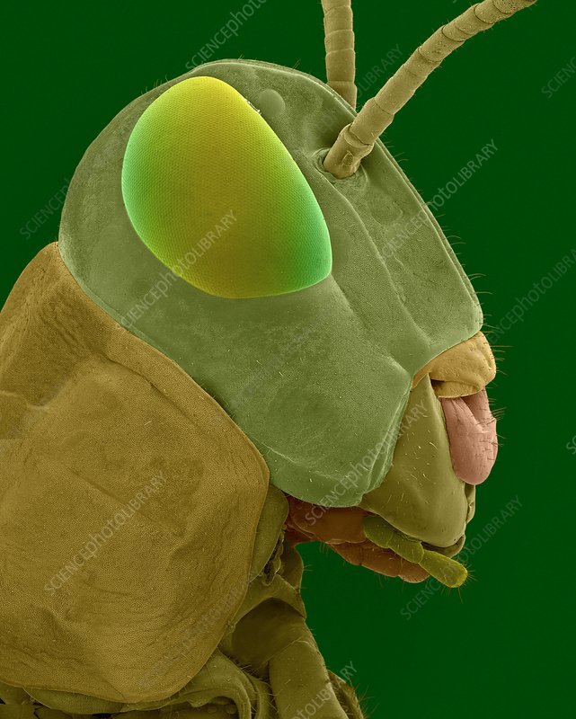 Grasshopper head and mouthparts, SEM