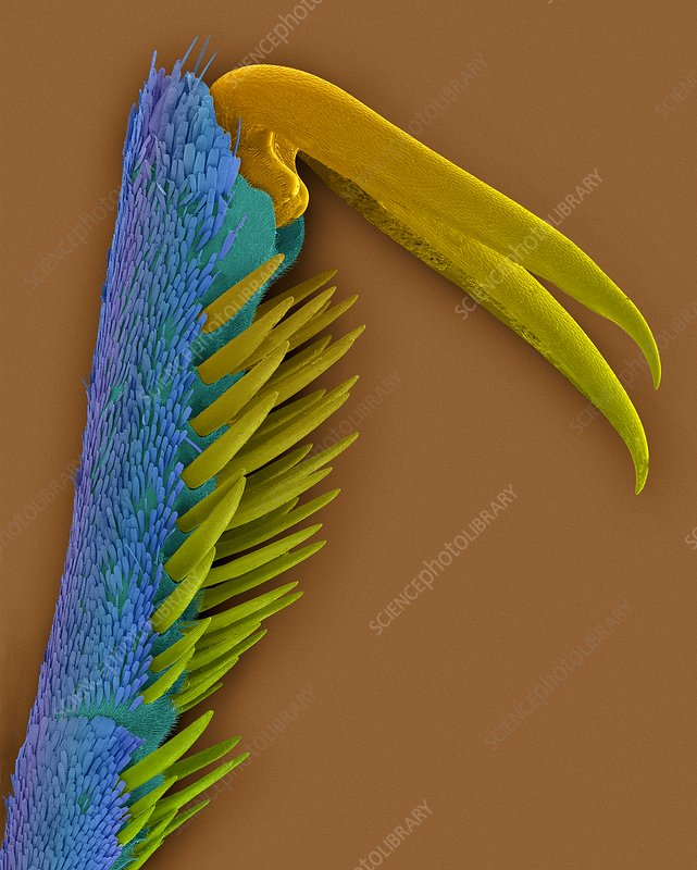 Monarch butterfly claw, SEM