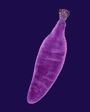 Thorny-headed worm (Oncicola canis), SEM