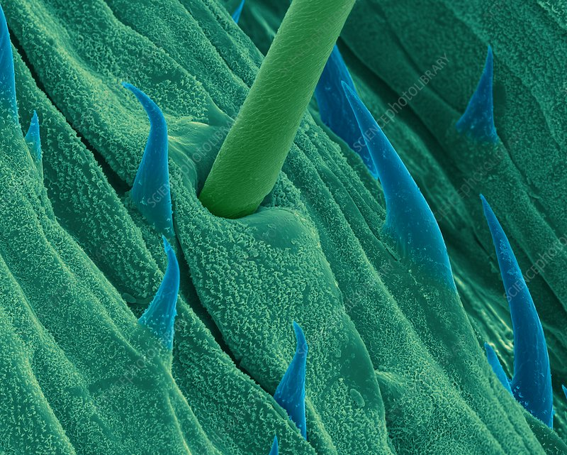 Surface of a grass blade, SEM