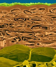 Apple fruit section, skin to parenchyma, SEM