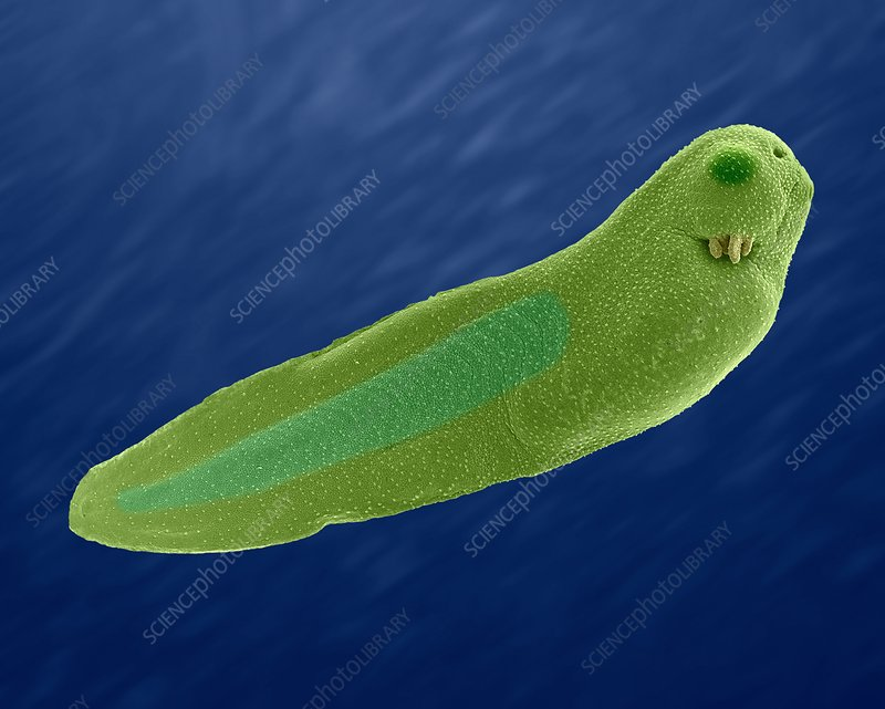 African Clawed Frog tadpole (Xenopus laevis), SEM