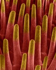 Cat tongue papillae, SEM