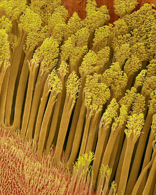 Gecko foot hairs (Hemidactylus frenatus), SEM