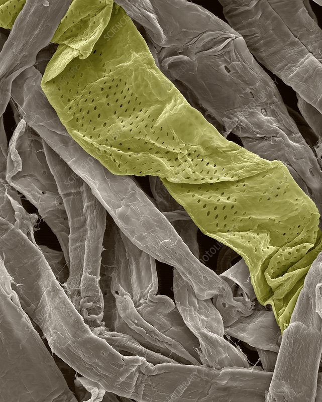 Cellulose fibres in toilet paper, SEM
