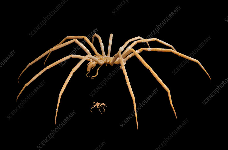 Antarctic and European sea spiders