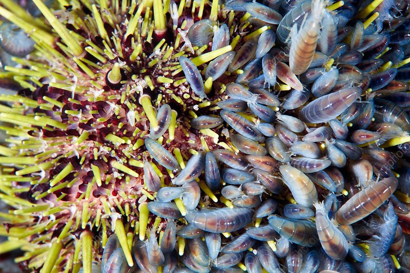Amphipod crustaceans feeding on sea urchin