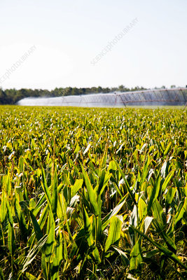Sprinkler jets irrigating a corn field