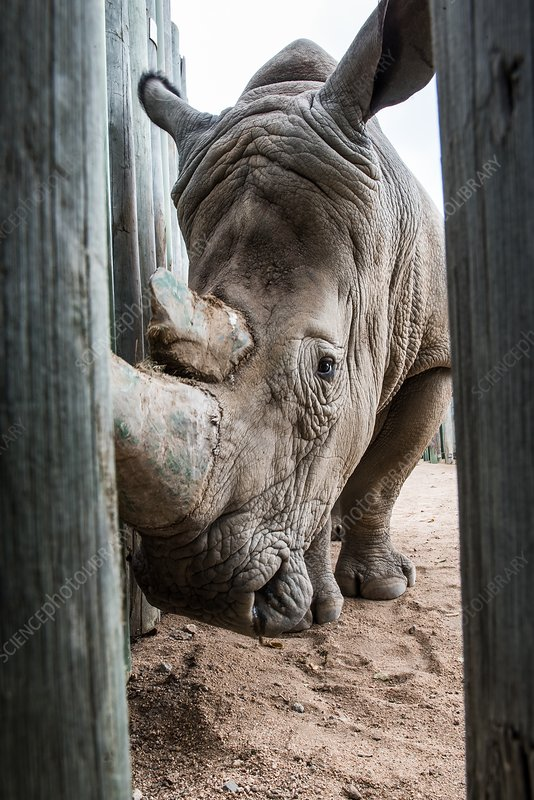 White rhino in rehabilitation centre