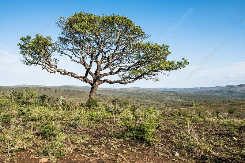 Marula tree on a high ridge