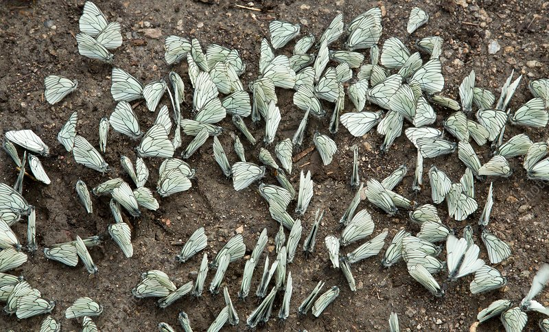 Black-veined white butterflies