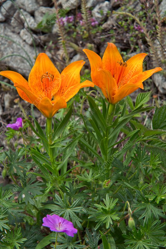 Orange lily (Lilium bulbiferum var. croceum)