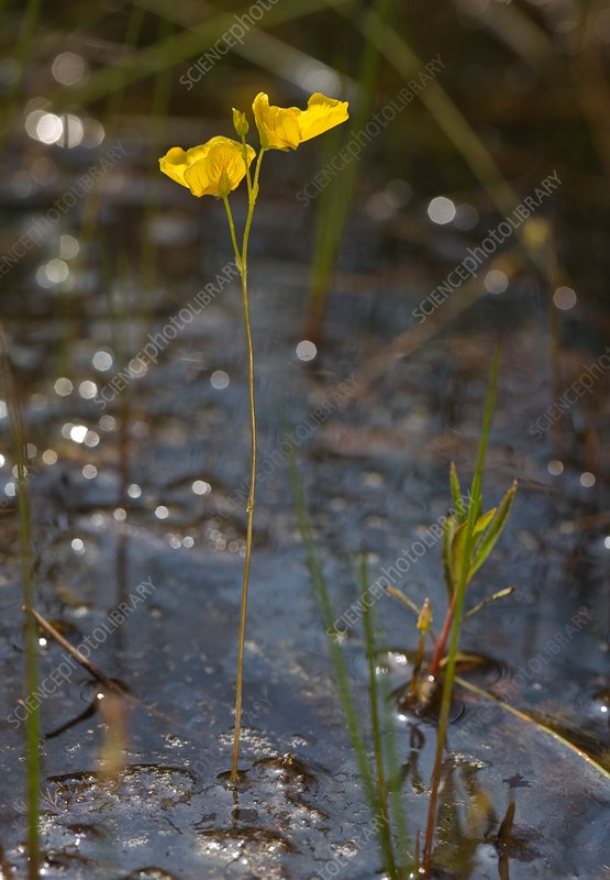 Flatleaf bladderwort (Utricularia intermedia)