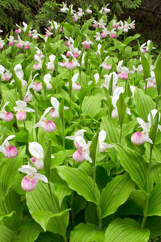 Showy lady's-slipper orchid (Cypripedium reginae)