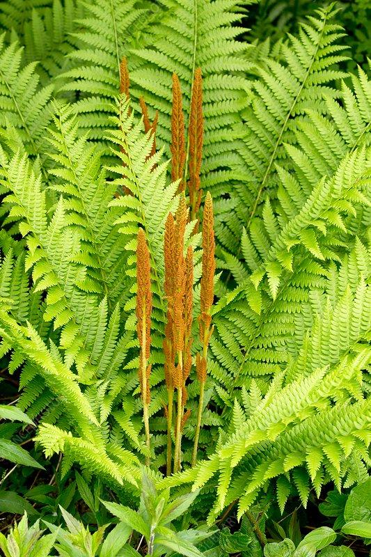 Cinnamon-fern (Osmundastrum cinnamomeum)