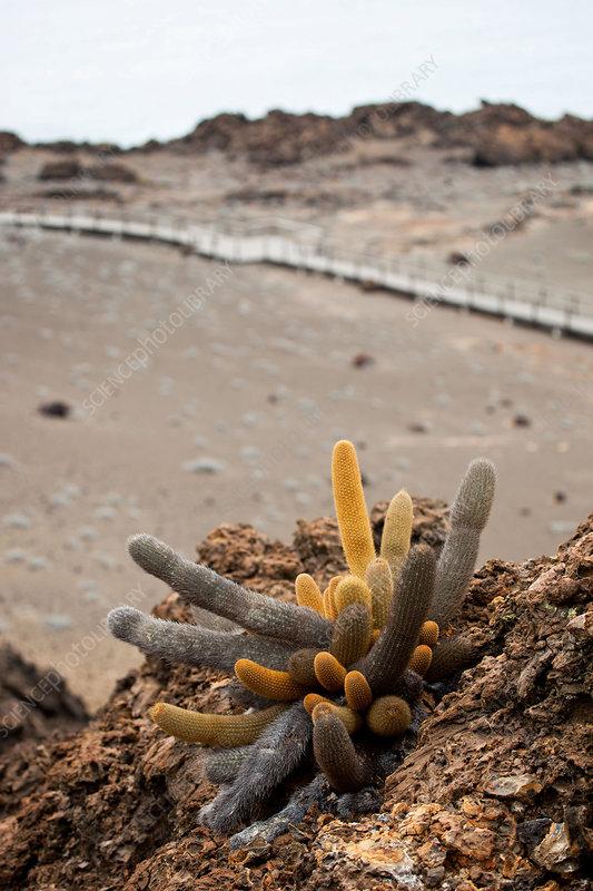 Galapagos lava cactus