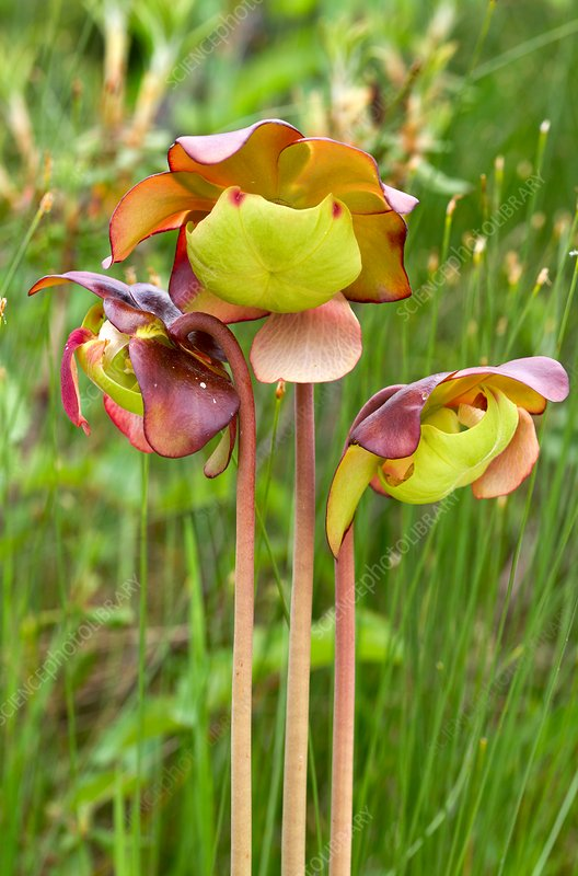 Purple pitcher plant (Sarracenia purpurea) flowers