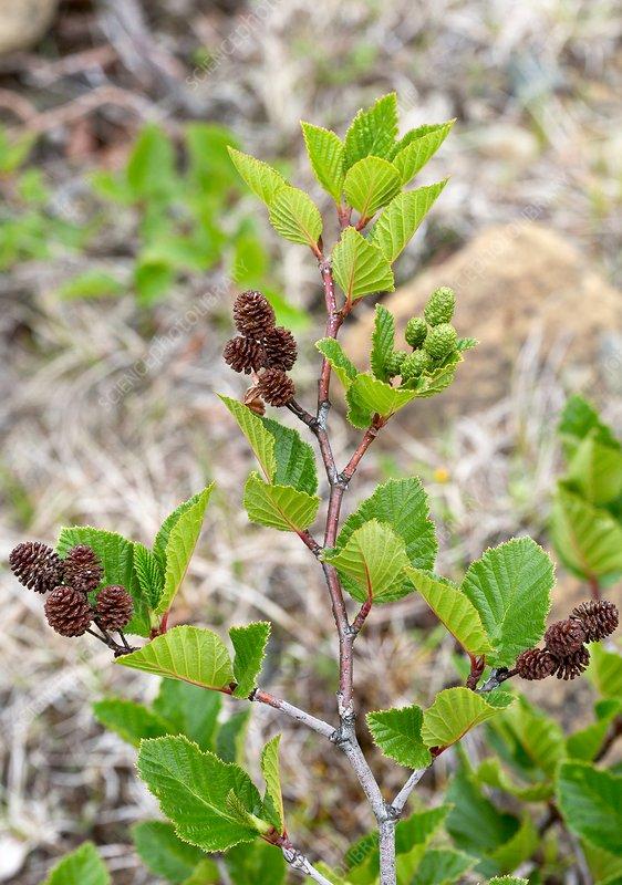 Mountain alder (Alnus sp.)