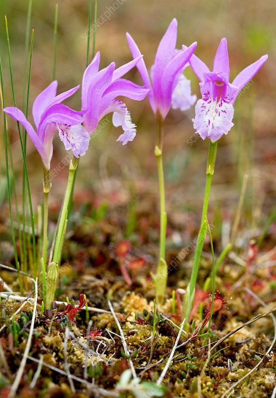 Dragon's mouth orchid (Arethusa bulbosa)
