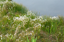 Hudson's Bay bulrush (Trichophorum alpinum)