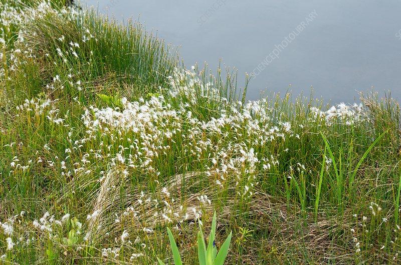 Hudson's Bay bulrush (Trichophorum alpinum)