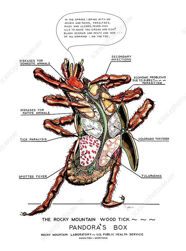 Rocky mountain wood tick, illustration
