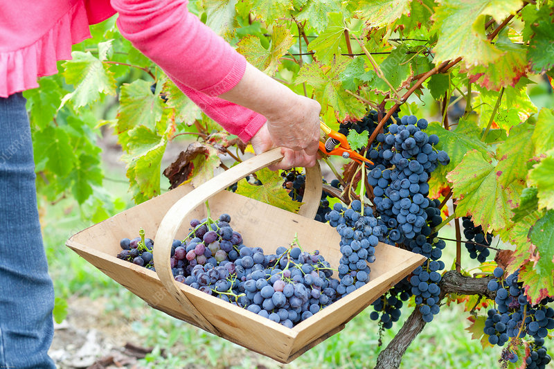 Handpicking grape harvest