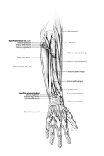 Forearm muscle anatomy, illustration