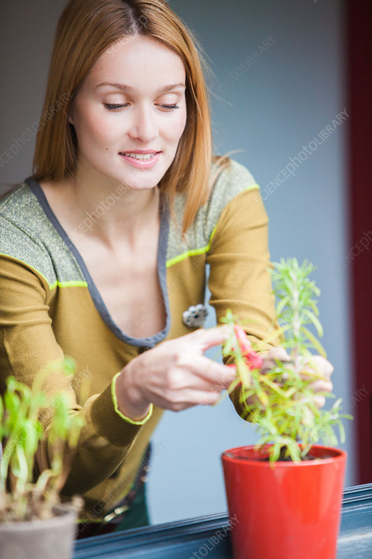 Woman cutting rosemary