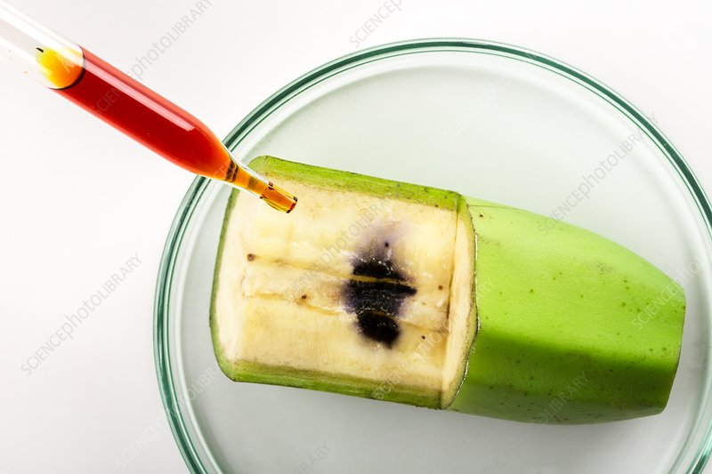 an experiment testing the presence of nutrients in food Do not allow pets to lick the fruit after testing dissolve 10 grams  so this experiment is best done in the fall  which indicate the presence of starch 5.