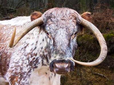 Horns of a female English Longhorn cow.