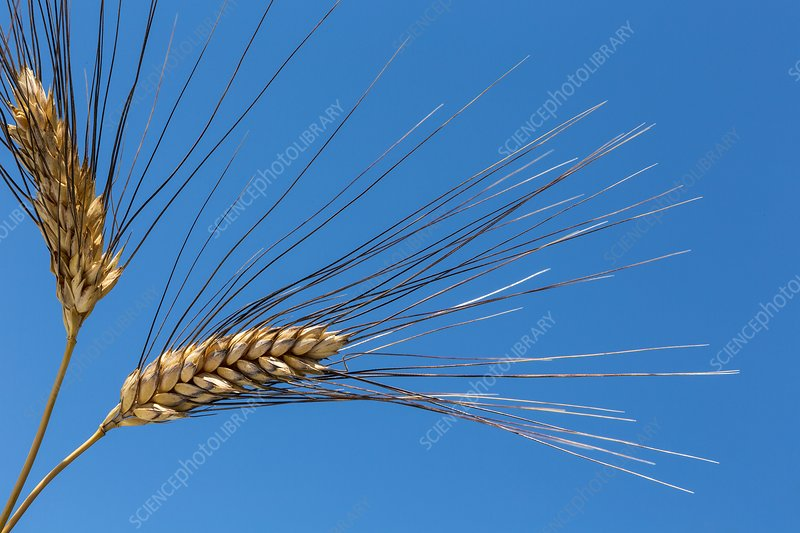 Ripe Svevo durum wheat (Triticum durum)