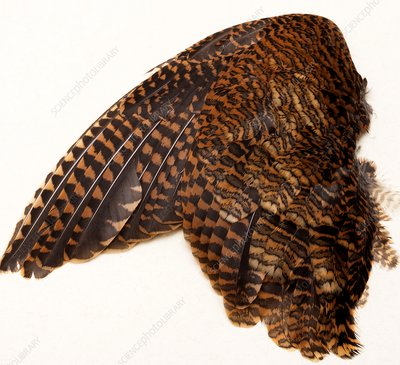 Woodcock Wing