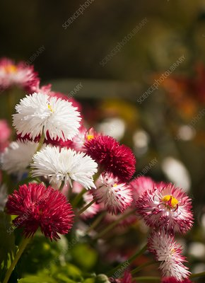 Daisy (Bellis perennis) flowers