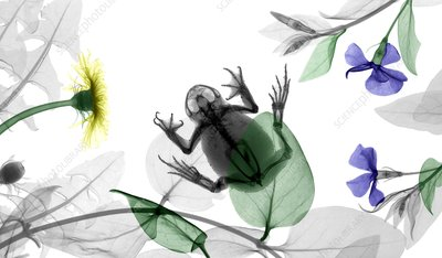 Toad and flowering plants, X-ray