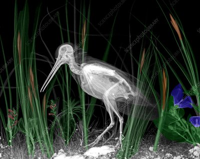 Snipe in reeds, X-ray