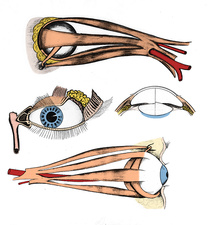 Muscles of Eye, Illustration