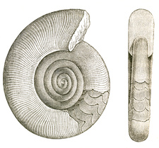 Devonian Ammonite
