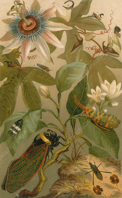 Clematis, Cicada and Beetles, 1894