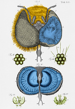 Historical Illustration of Honey Bee Eye
