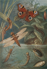Metamorphoses, Life Cycle of Insects