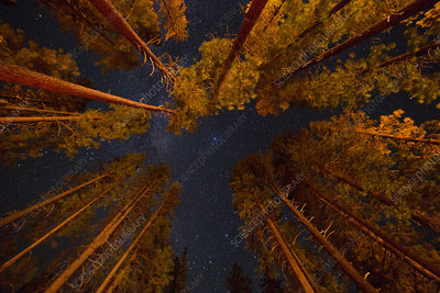 Pine Trees and Stars