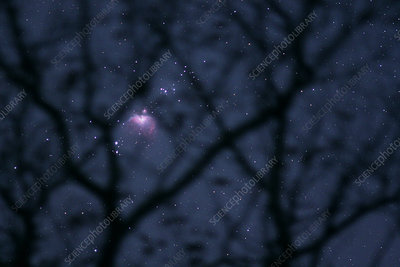 Orion Nebula, M42, through Tree Branches