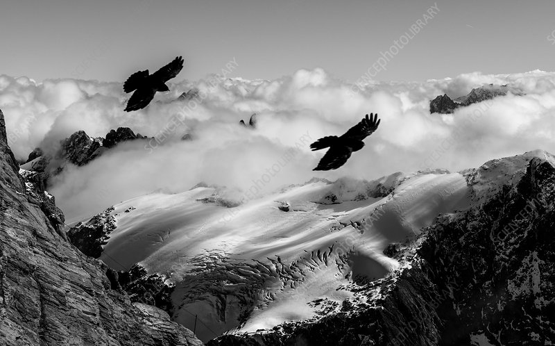 Alpine choughs and snow-covered Alps, Switzerland