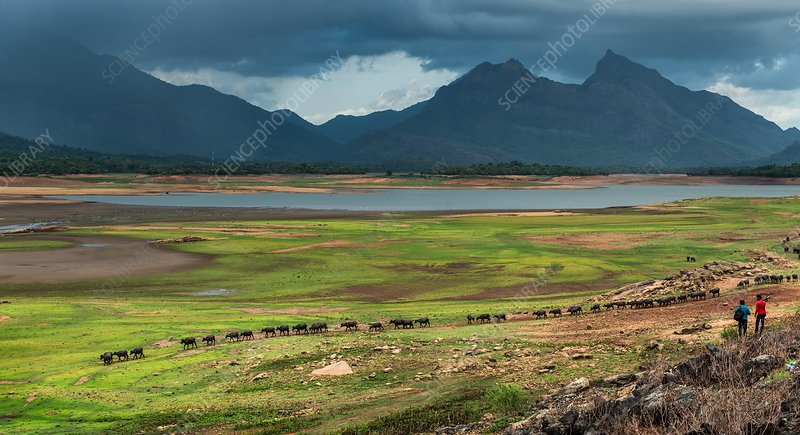Water buffalo in a valley, India