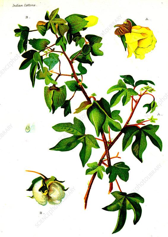 Cotton (Gossypium obtusifolium), 20th Century illustration